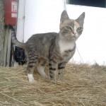 lovarda macska
